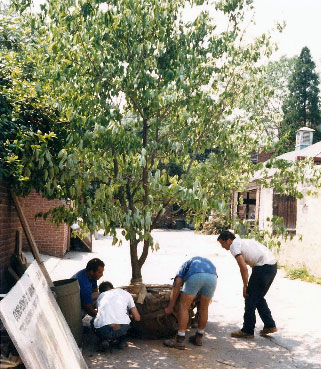 kehoe-landscapers-installing-tree