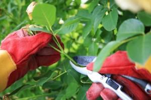 trimming-shrub